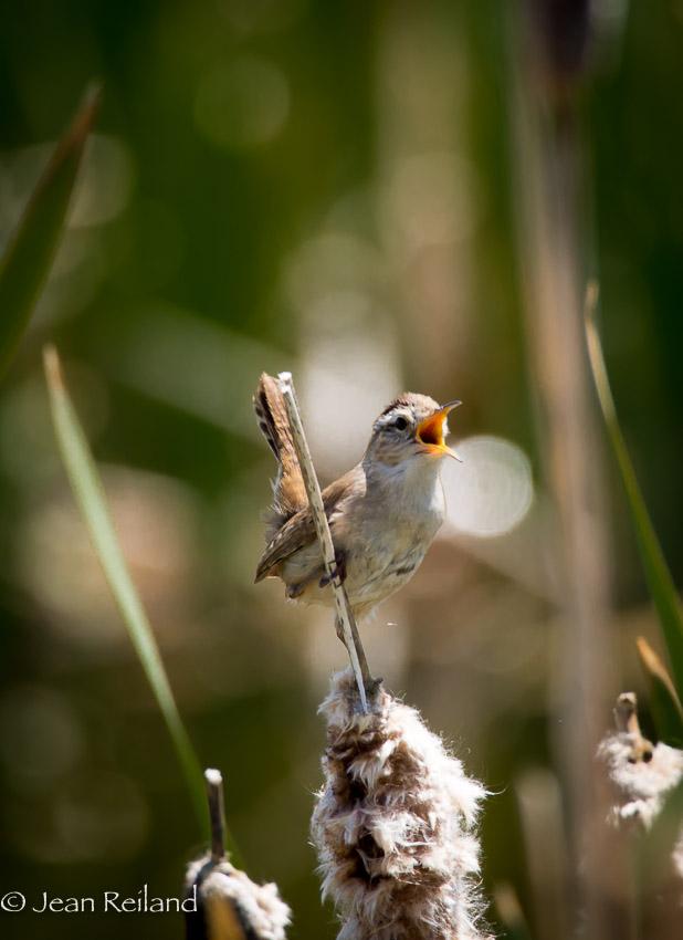 Male Marsh Wren