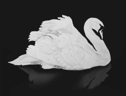 swan on black