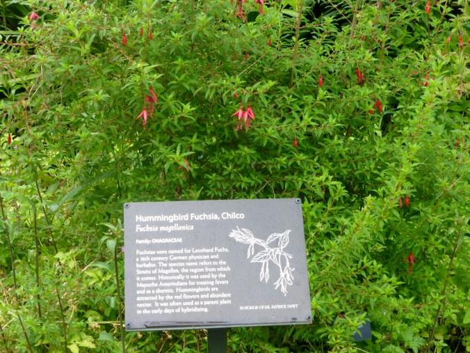 San Francisco Botanical Garden display of Fuchsia magellanica.