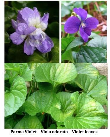 Parma violet, sweet violet and violet leaves of Viola odorata.