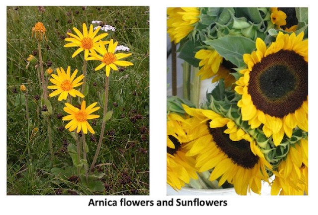 photo of Arnica flowers and Sunflowers
