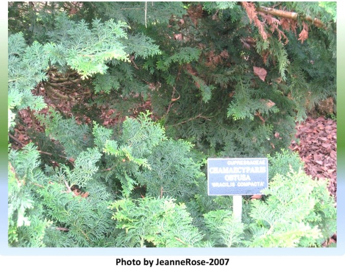 Hinoki cypress tree in SF Golden Gate Park, Botanical Garden with sign.