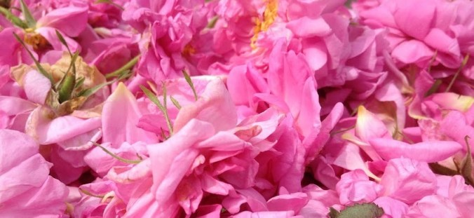 a scattering of beautiful pink Roses, ready for distillation, Rosa damascena.