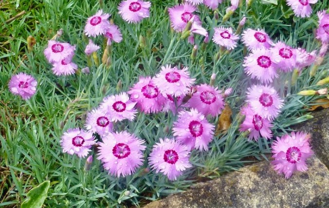 Pinks photographed in golden gate park in 2016