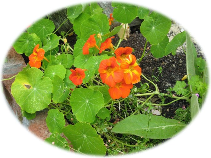 Nasturtium in the garden showing colors and leaves