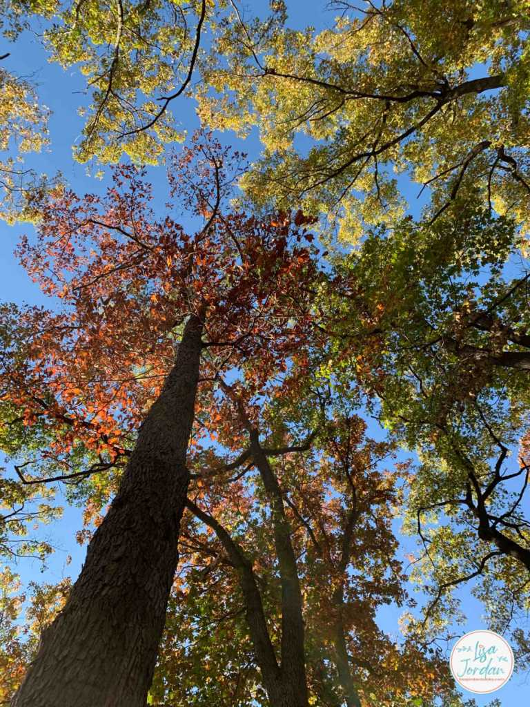 Looking straight up at the tops of trees with red, yellow, and green leaves and a blue sky backdrop