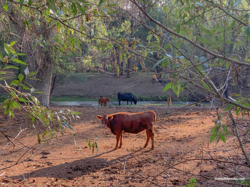 A red cow in an open area with other cows in the background