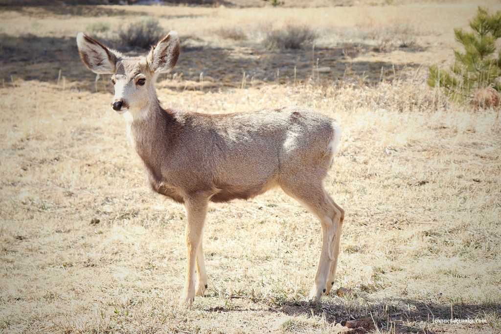 A fawn standing on brown grass