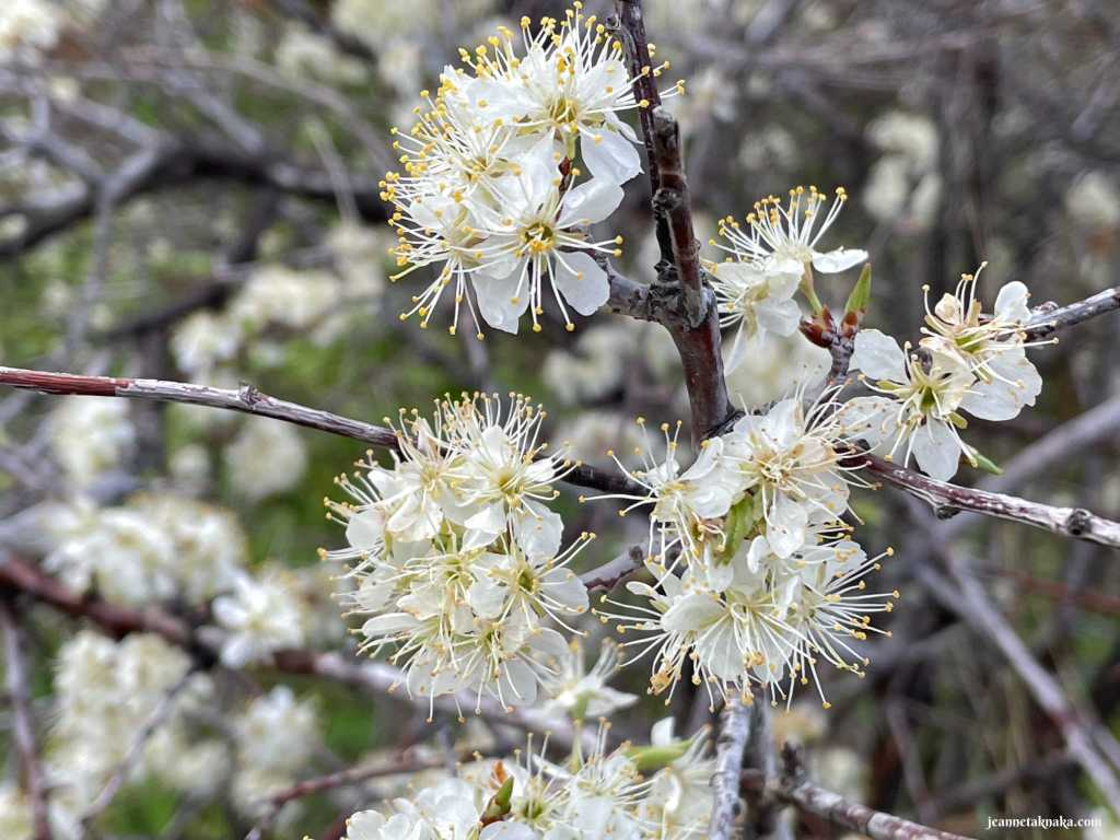 Small white flowers in full bloom on a spindly branch