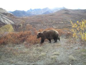 Bear going down hillside