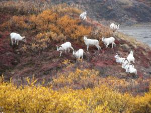 Dall sheep on outcropping