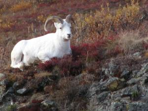 Dall sheep resting