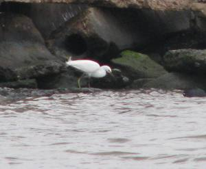 The yellow legs are the clue that this is not an egret but a young Little Blue Heron.