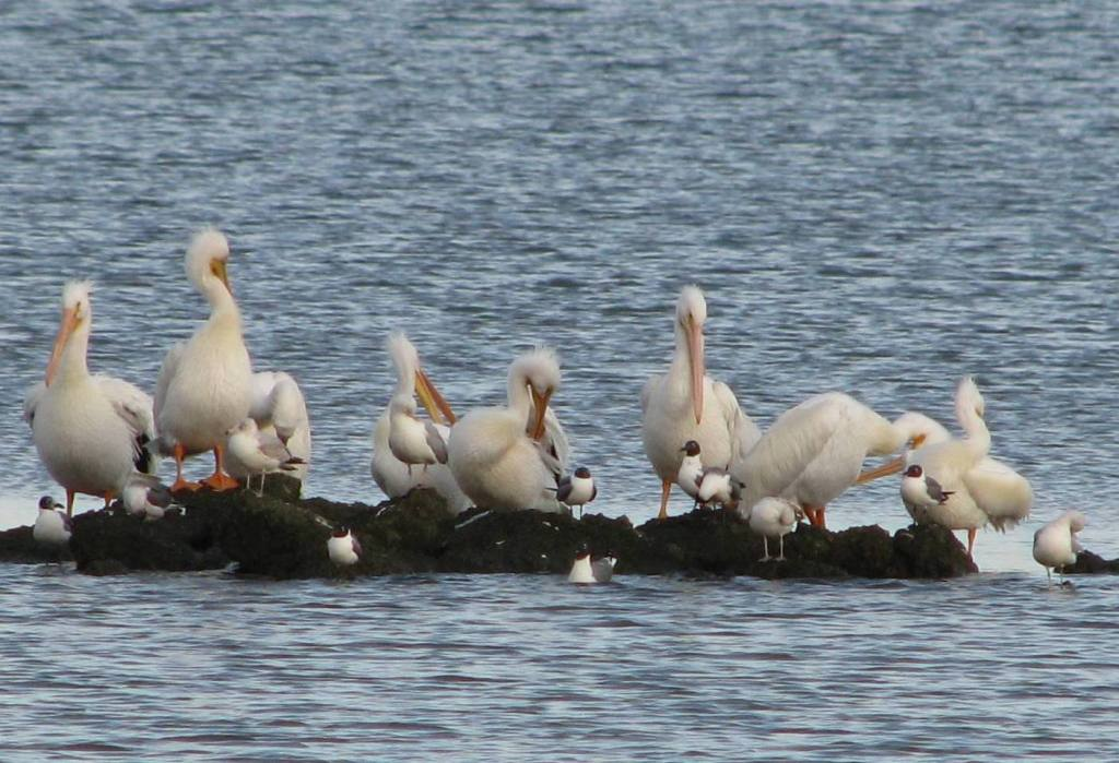 White Pelicans on rock jetty at Clear Lake Park