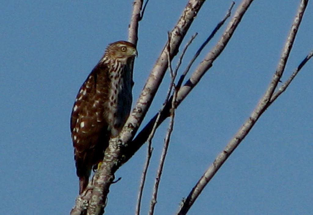The Falcon on an Autumn's Morn--November 01, 2013