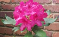 rhododendron #2