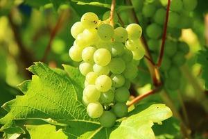 Grapes metaphor
