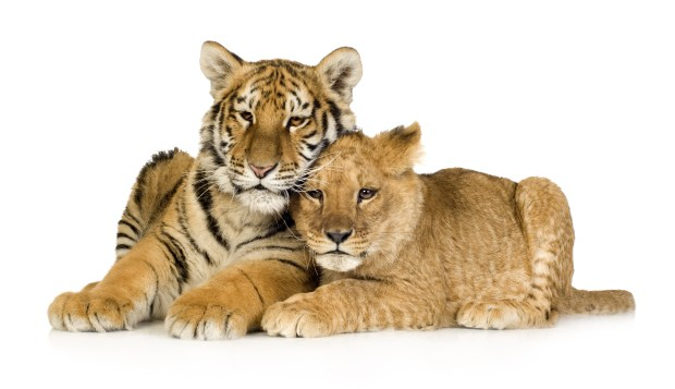 Happy Couple: Tigers