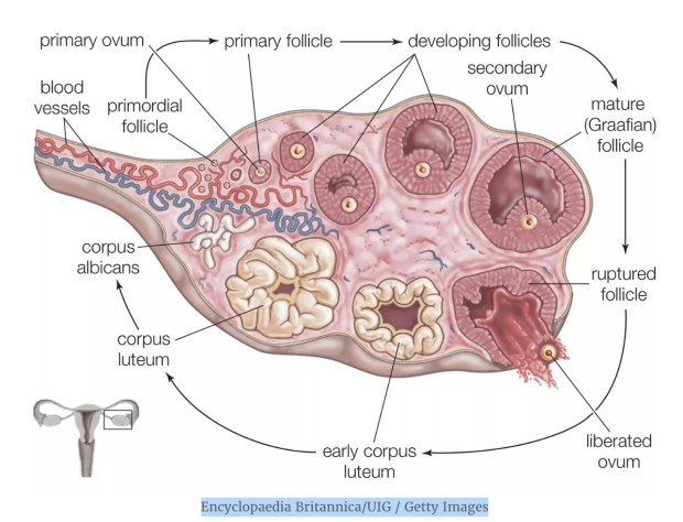 Egg production in the human ovary