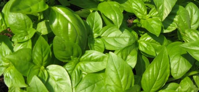 Viande avari e quels risques et quand ne pas la consommer - Basilic seche a ne pas consommer ...