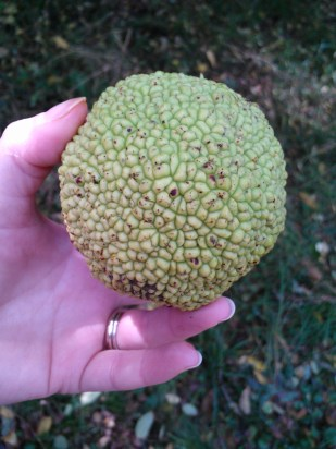 Osage orange fruit