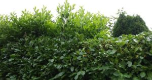 English laurel hedges, some out of control.
