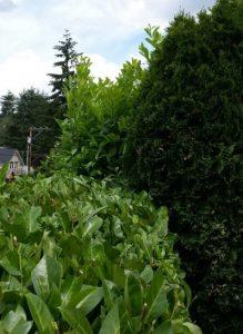 English laurel hedge being trimmed