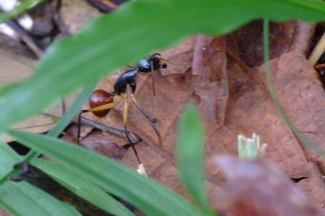 your typical ant...on steroids ;) (3 cm long)