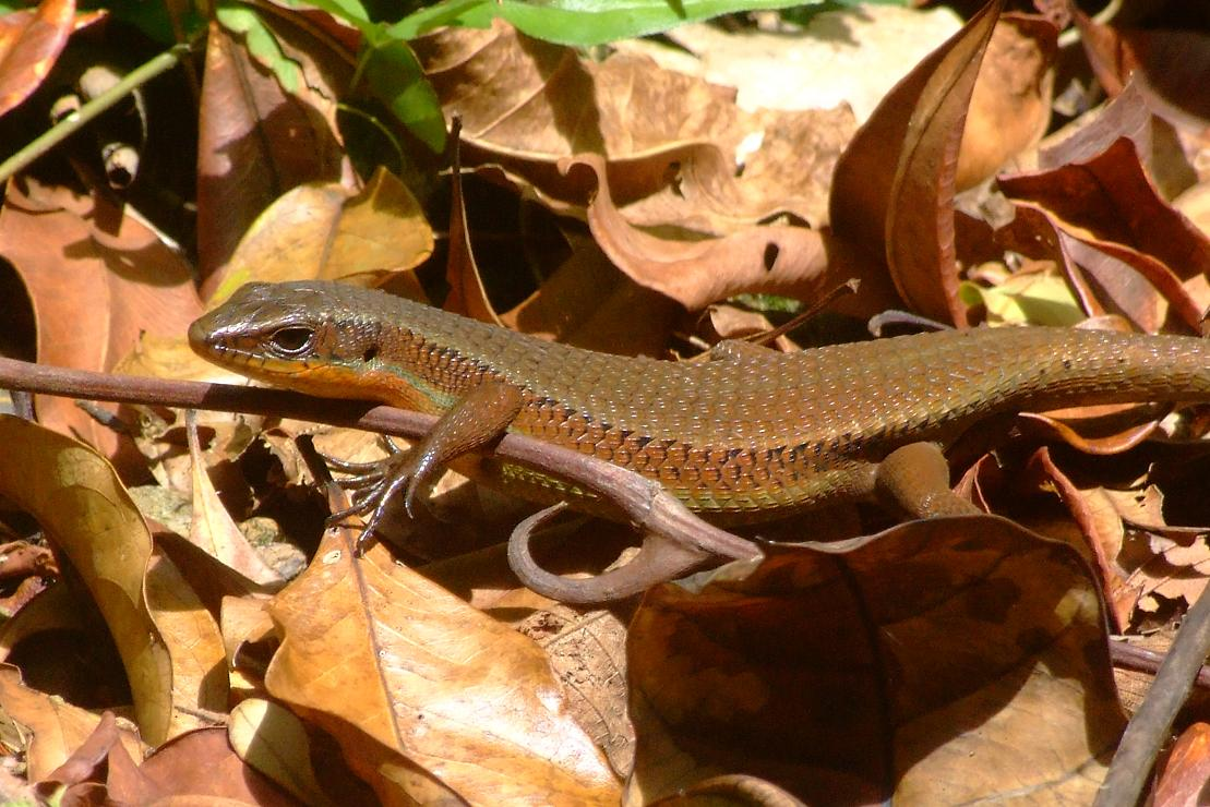 a lot of small skinks like this one scamper of the road as you pass