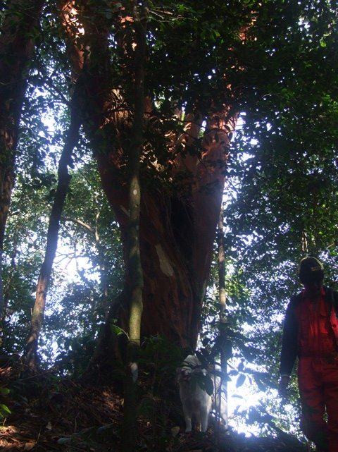 The big red tree we took bark from.