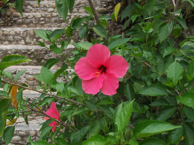Hibiscus near one of the houses in the village.
