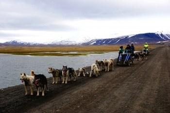 Psi zaprzęg - Svalbard