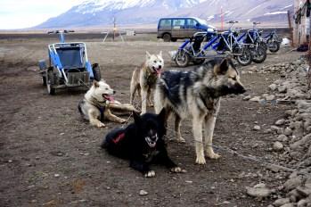 Psy pociągowe - Svalbard