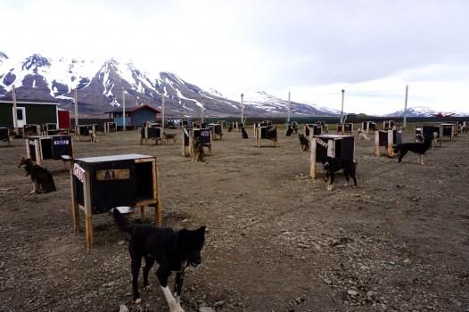 Psi wybieg - Svalbard