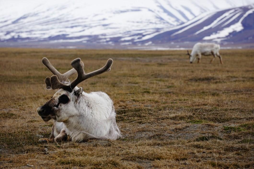 Svalbard - renifer