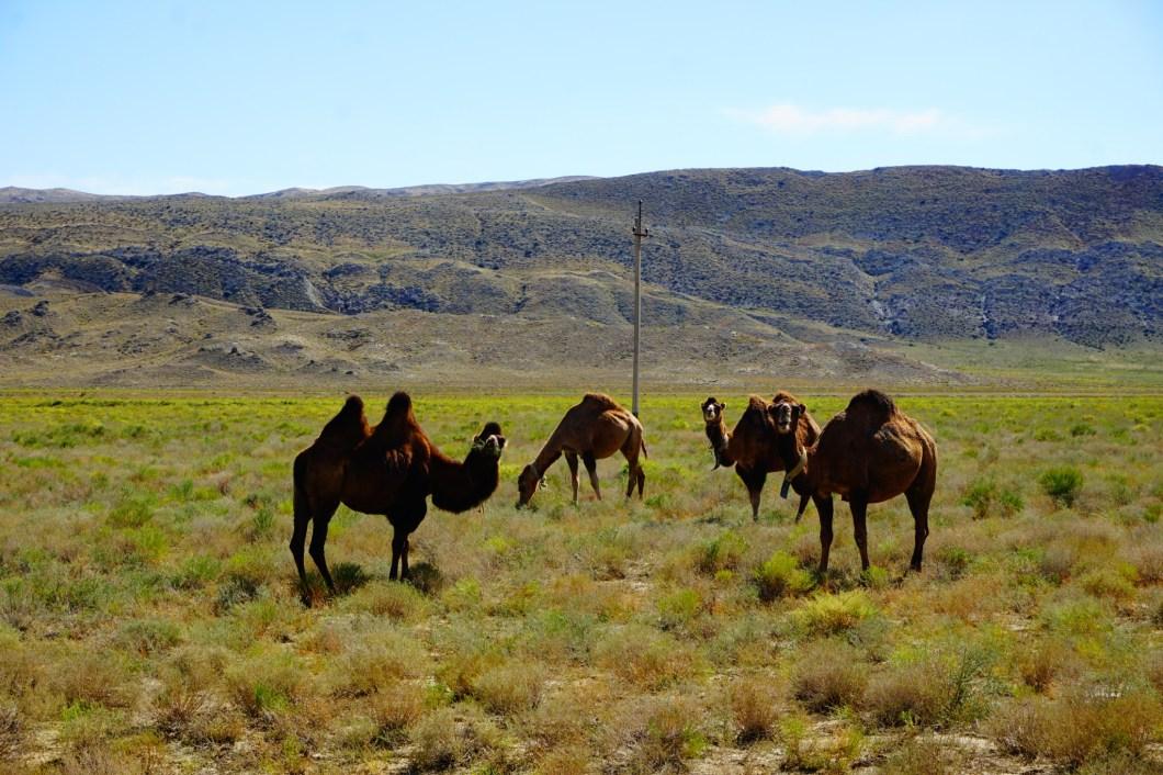 Mangystau - wielbłądy
