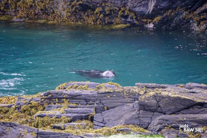 Atrakcje Wyspy Man - Cape Sound - foka