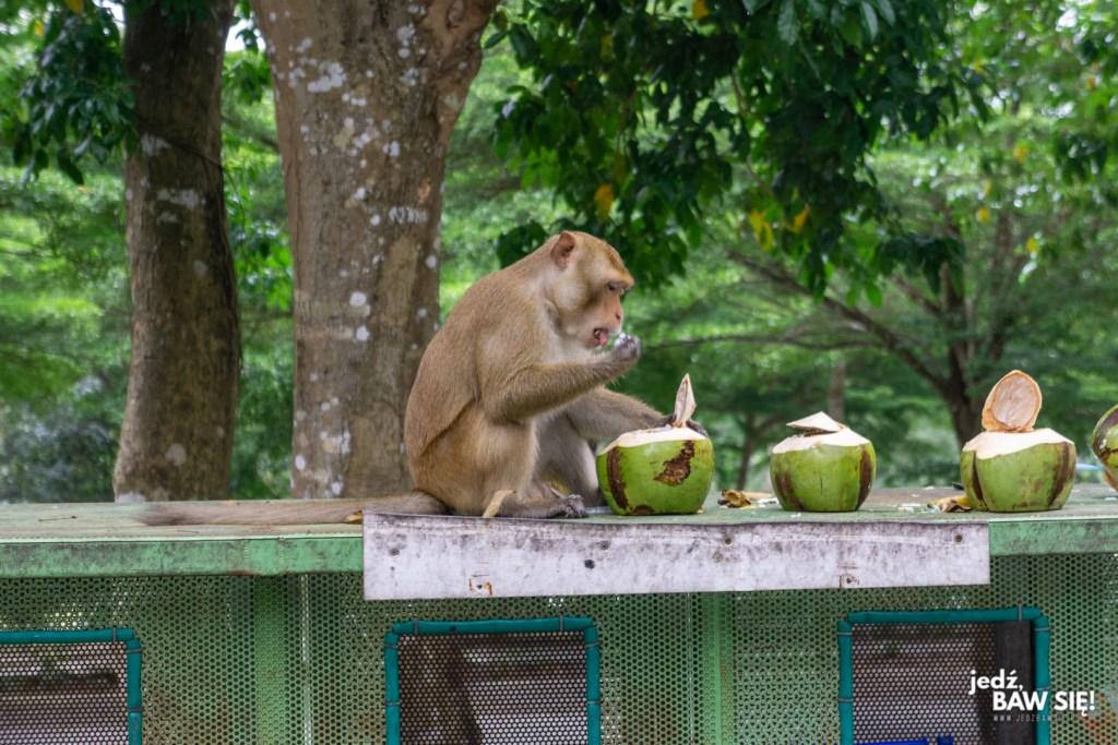 Makak w parku Khao Kheow