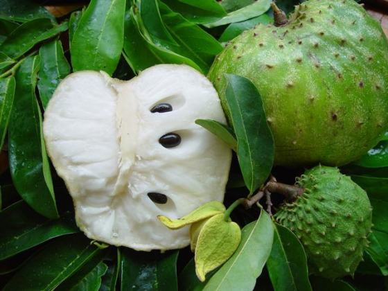 Nature has the designs: Soursop Fruit Kills Cancer 100-Fold better Than Chemotherapy