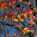 Linden trees turn wonderful shades of color in the fall