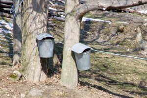 Maple syrup collect the old fashioned way with sap buckets