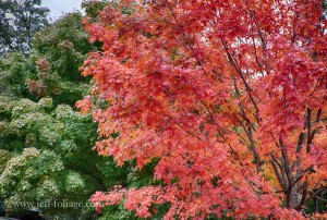 an example of a Maple all dressed in scarlet red hues