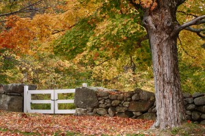 Early fall color above a rock wall in New Salem Massachustts