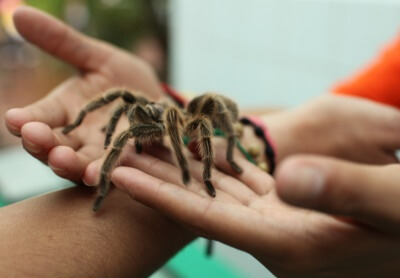 Would you like to be able to hold a Tarantula?