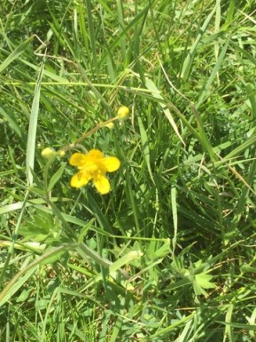 Buttercups are permitted on the Van Fleet's family ranch, they attract pollinators and are part of a diverse ecosystem, photo by Camille Van Fleet