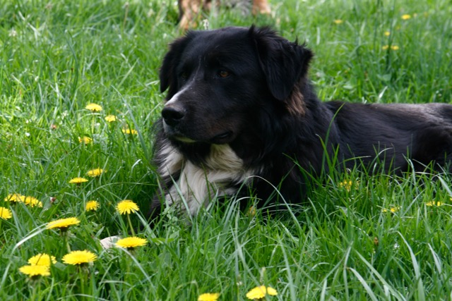Oso, the Van Fleet's ranch dog surveys the results of holistic planned grazing, photo by Camille Van Fleet