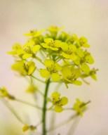Tumble Mustard in June, Billings Rimrocks