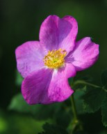 Wood's Rose in June along the Yellowstone River near Laurel, Montana