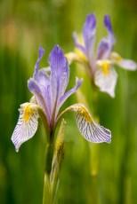 Rocky Mountain irises, late-June, Yellowstone National Park
