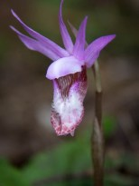 Calypso Orchid (Fairy Slipper) in late May in the Bitterroot Mountain Range
